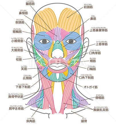 国分寺の整体【 口コミNo.1 】のぶ整体院の頭にもイロイロな筋肉があります!